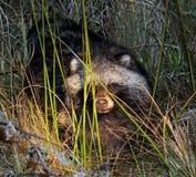 Raccoonen förföljer Arkivfoton