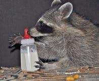 Raccoonen med behandla som ett barn buteljerar Arkivbilder