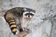 RaccoonProcyon lotor. Wild animal, RacoonProcyon lotor predators, enotovy Royalty Free Stock Photography