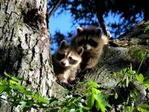 raccoons молодые Стоковое фото RF