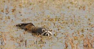 raccoons плавая Стоковые Фотографии RF