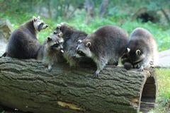 raccoons Royaltyfria Bilder
