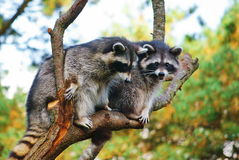 Raccoons. Stock Photo