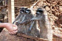 raccoons Fotos de Stock Royalty Free
