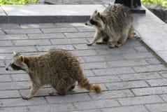 raccoons Fotografia Stock Libera da Diritti