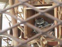 raccoons Photographie stock libre de droits