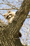raccoons Stockfoto