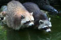 Raccoons Stock Images