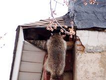 Raccoons in the attic stock photos