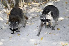 Raccoons on the beach stock image