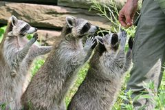Raccoons begging for food. Funny Raccoons (Procyon lotor) begging for food Royalty Free Stock Photography