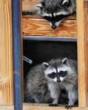 Raccoons in Building. Playful raccoons take up residence in house under construction and find ways to play Royalty Free Stock Photo