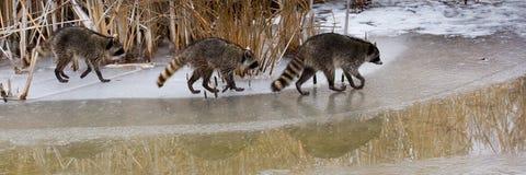 Raccoons comuni immagine stock