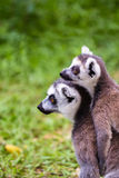 Raccoons couples Royalty Free Stock Photo