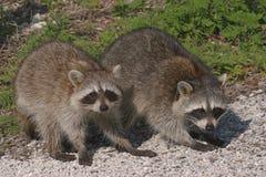 Raccoons do bebê Fotos de Stock
