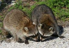 Raccoons do bebê Foto de Stock