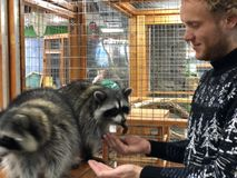 Raccoons eat from hands in the manual contact zoo, a man feeds animals from hands royalty free stock photos