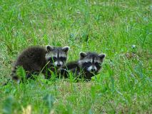 Raccoons on the edge of the trail royalty free stock photos