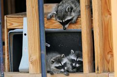 Raccoons in House. Raccoon mom looks down on two cubs in between studs at house under construction Royalty Free Stock Photography