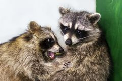 Raccoons hug each other, love animals. The raccoons hug each other, love animals royalty free stock images