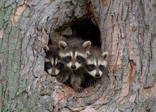 Raccoons novos fotografia de stock