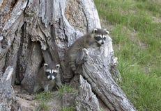 Raccoons novos Imagem de Stock Royalty Free