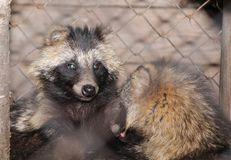 Raccoons in the open-air cage Stock Photography