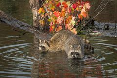 Raccoons Procyon lotor Hang Out on Log Royalty Free Stock Images