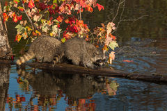Raccoons (Procyon lotor) Lined Up on Log Royalty Free Stock Photos
