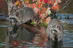 Raccoons Procyon lotor Look Out from Log in Water Stock Image