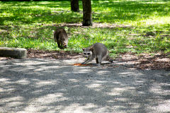 Raccoons. Raccoon eating cat food, looking at the camera in a parking lot. View of second raccoon not facing the camera walking on the grass Royalty Free Stock Photography