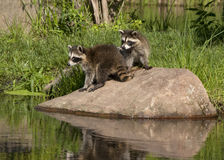 Raccoons on Rock by a River Stock Images
