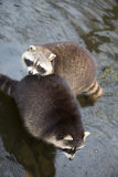 Raccoons. Sitting beside each other in a river Stock Photos
