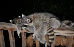 Raccoons sleeping on deck rail Stock Photos