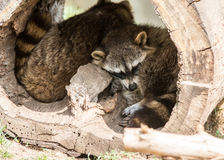 Raccoons sleeping in log Stock Images