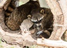Raccoons sleeping in log Stock Images
