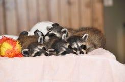 Raccoons som tar en ta sig en tupplur Arkivbild