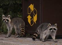 Raccoons Stock Photography