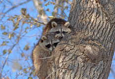 Raccoons in Tree in New York Stock Images