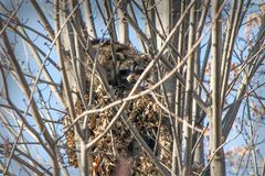 Raccoons in a tree Royalty Free Stock Images