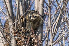 Raccoons in a tree Royalty Free Stock Photos