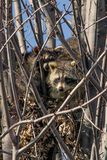 Raccoons in a tree Royalty Free Stock Photography