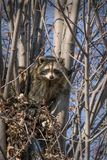 Raccoons in a tree Royalty Free Stock Photo