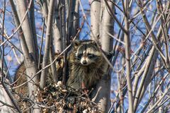 Raccoons in a tree Royalty Free Stock Image