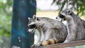raccoons två lager videofilmer