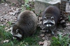 raccoons två Arkivbild