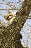 Raccoons Stock Photo
