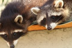 Raccoons at the zoo Royalty Free Stock Images