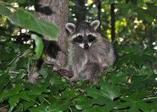 Raccoonsammanträde i Tree Arkivfoto