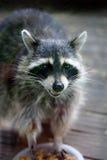 raccoonsmokey arkivbild